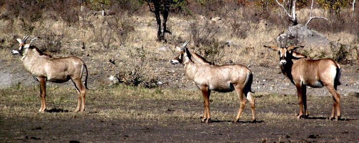 Roan... one of Africa's rarest antelope