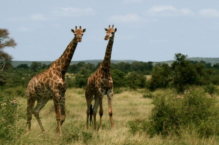 Giraffes at Kruger, South Africa.