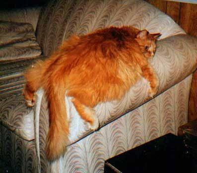 obesità gatti