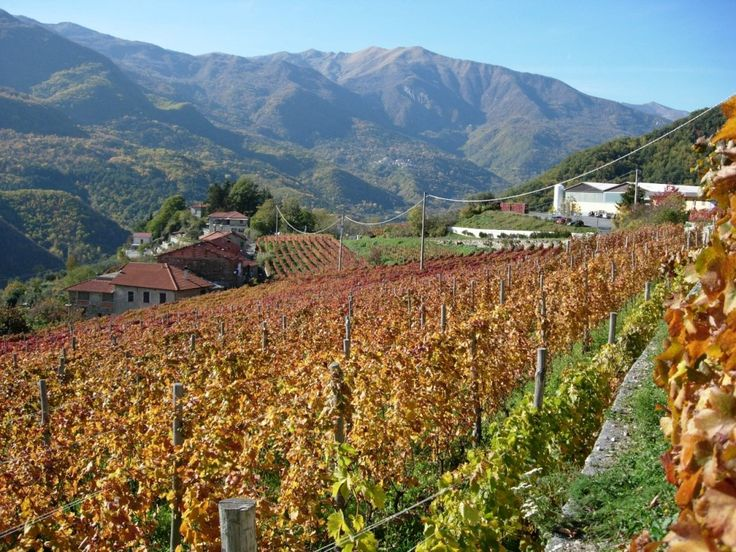 Beatiful Ormeasco vineyards autumn color!
