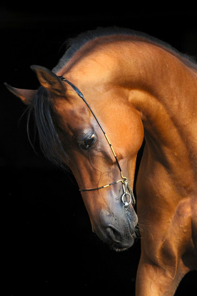 Arabian horse, so pretty.