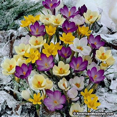 This mix of purple, white and yellow Crocus will pop up in early spring through the snow.  When this mix starts blooming you'll know spring is here.
