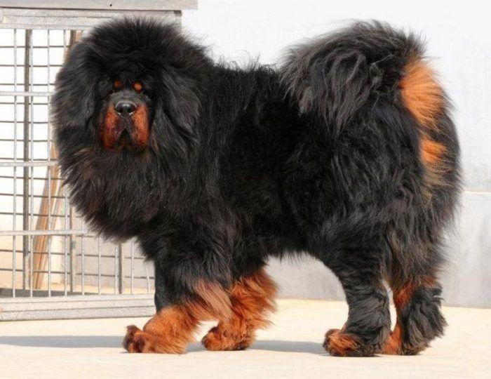 Mastín tibetano También conocido como Dogo Tibetano, es otro perro de pastoreo y típico de las zonas frías de Asia, utilizado en la antigüedad como perro de custodia, este perro es toda una belleza por su gran tamaño que puede llegar a ser de hasta unos 80 cm de alto, siendo una de las especies de perro más grande que existe.