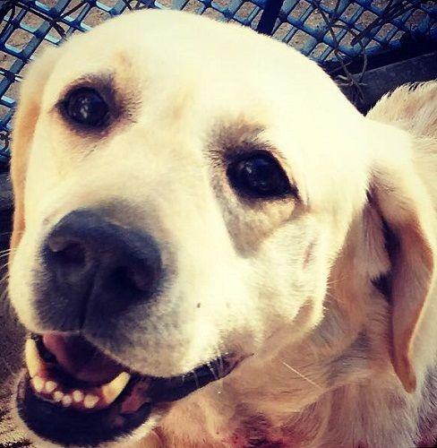 Adopt Sweetie 15 On Yellow Labrador Retriever Retriever Dog Labrador Retriever Dog