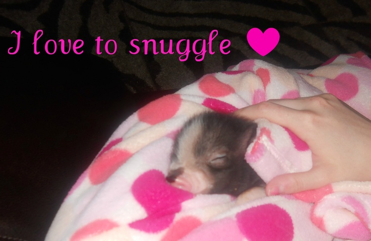 Pics For > Baby Teacup Pig Pink