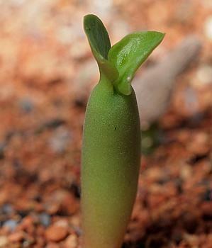 Em um artigo anterior (Estaquia da rosa-do-deserto) mostrei como propago as rosas-do-deserto por estacas (propagação vegetativa ou assexuada). Agora mostra