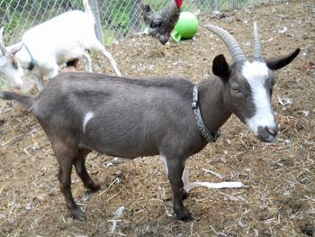 1000 images about pigs goats sheep cows on pinterest - Buffalo craigslist farm and garden ...