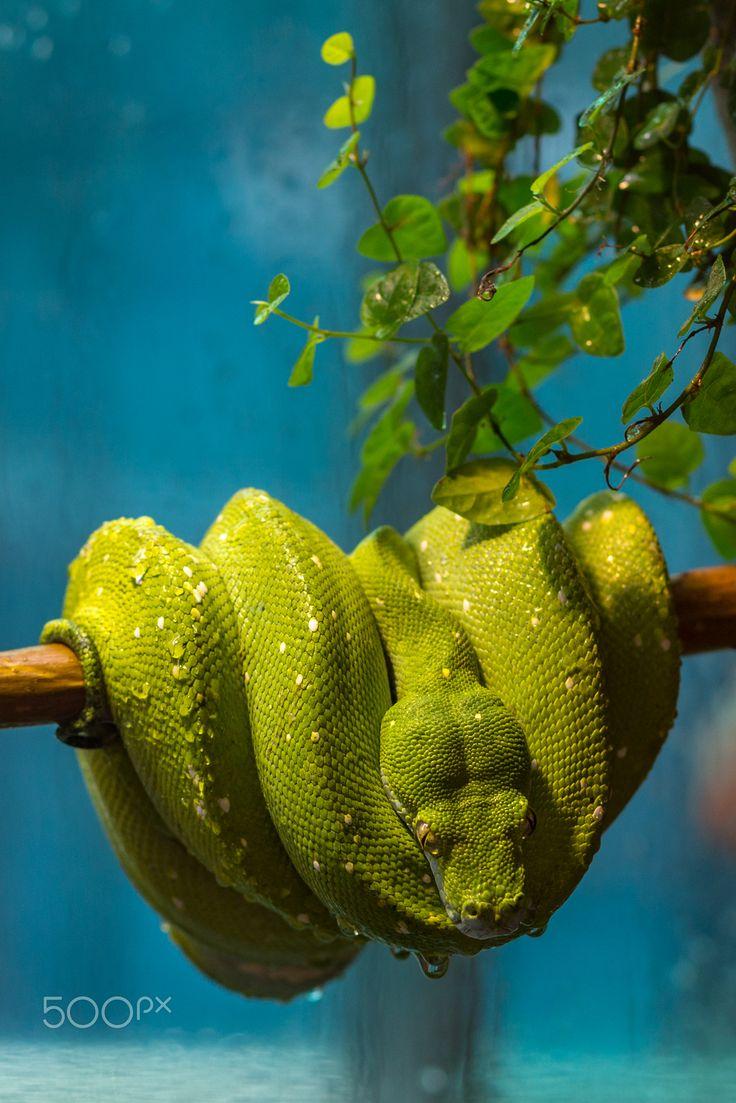 Green tree python (Morelia viridis) in Pécs Zoo, Hungary. smaragdzöld piton