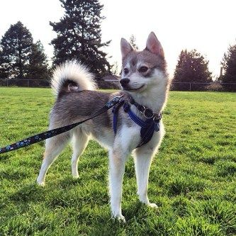 Pros and Cons of the Alaskan Klee Kai - Alaskan Klee Kai 101 ...