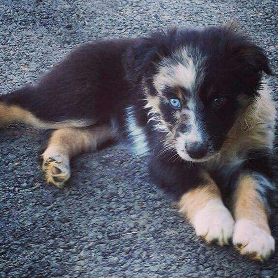 1000+ ideas about Australian Shepherds on Pinterest ...