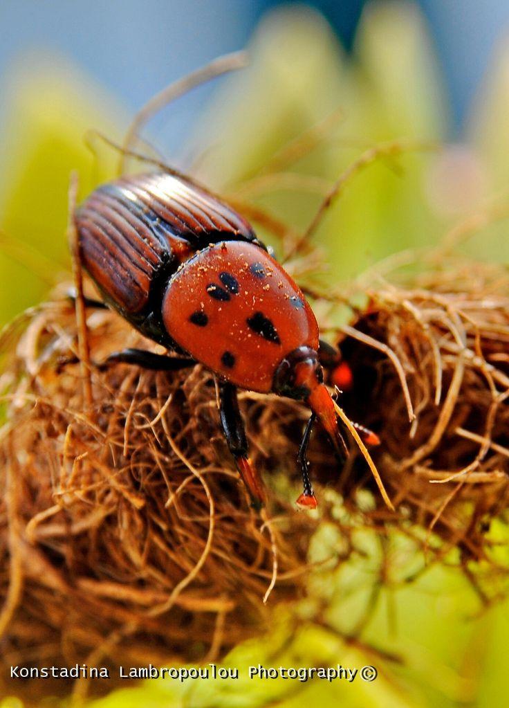 Rhynchophorus ferrugineus  Red palm weevils