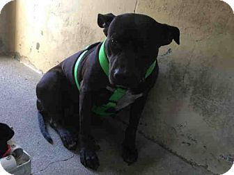 3/11/17..Downey, CA - Pit Bull Terrier. Meet TRUFFLES, a dog for adoption. http://www.adoptapet.com/pet/17529374-downey-california-pit-bull-terrier