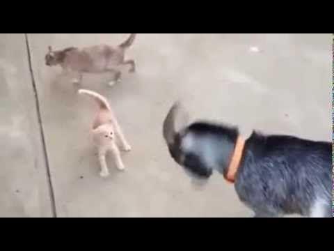Keçiye Kafa Tutan Cesur Kedi!..