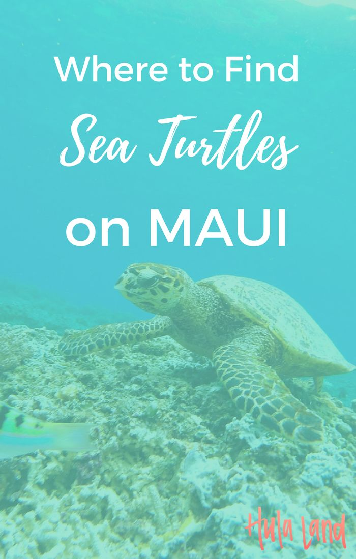 Where to find sea turtles on Maui plus the best Maui snorkeling spots