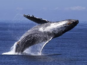 List of most recent whale sightings in Monterey Bay, CA, USA