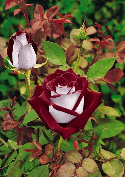 Les 25 meilleures id es de la cat gorie rosier buisson sur pinterest fleurs hybrides fleur et - Quand tailler les rosiers buisson ...