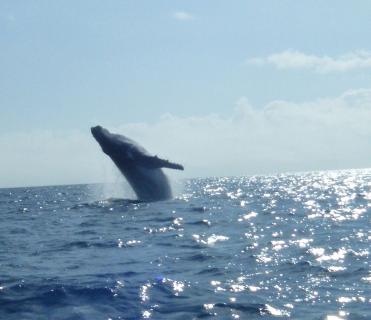 Humpback whale , photo from Monique! Thankyou for sharing :-)