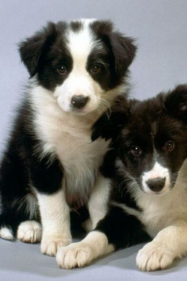 Border Collies. They are the cutest puppies ever!