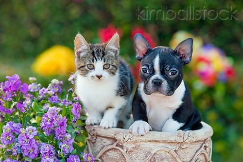 Tabby Kitten And Boston Terrier Puppy Sitting In Flower Pot By Flowers