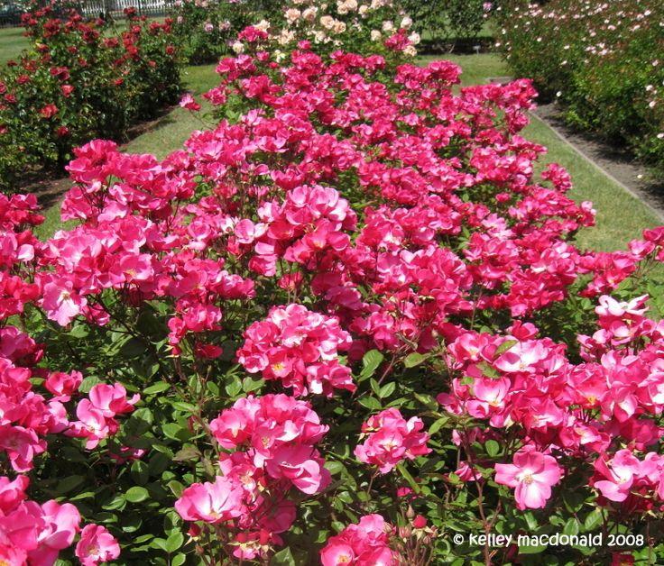 Full size picture of Floribunda Rose 'Betty Prior' (Rosa)