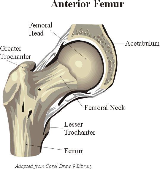 die 25+ besten hip joint anatomy ideen auf pinterest | kniegelenk, Skeleton