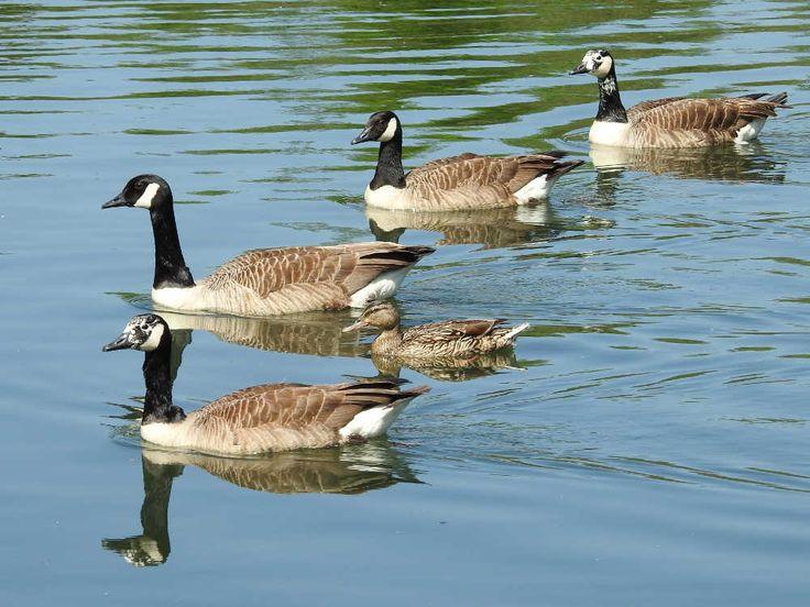 Parc Nord - Étangs municipaux aux Ulis - Oies bernaches et canard