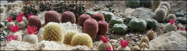 Exotická krása nevšedných rastlín z Mexika. Kaktusy s kvetmi a vytŕnením ťažko opísateľnej krásy farieb. Združenie nadšených pestovateľov kaktusov a sukulentov.