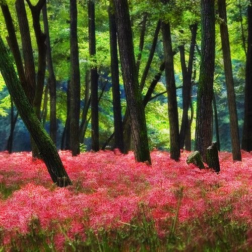 Spider Lilies Japan: Spring Fields, Spring Flowers, Buckets Lists, Colors, Spiders Lilies, Places, Natural Destinations, Forests Spiders, Photo