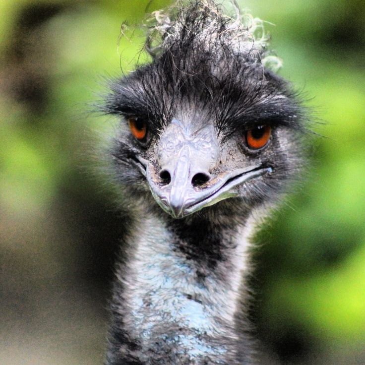 Emu at Auckland Zoo