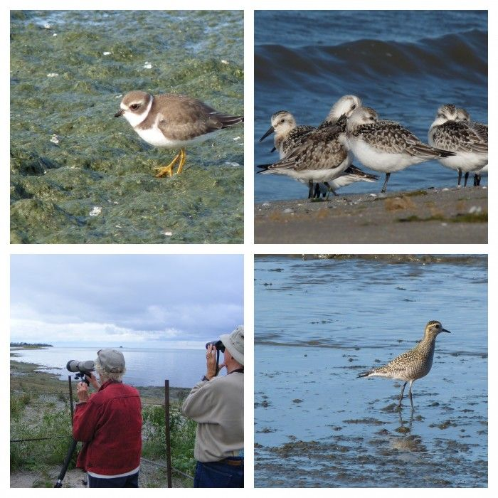 Fall shorebirds at Presquile