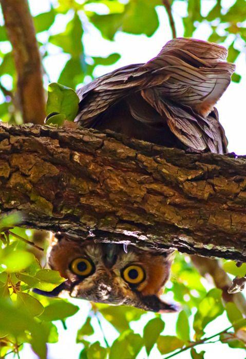 Stealth Owl