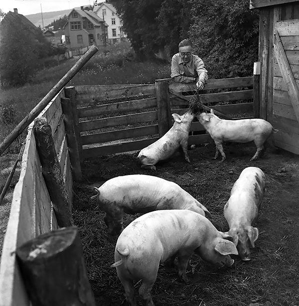 Nr. 25. Lars Halingstad matar grisen til Ål hotell. Utlånt av Ole Johs. Brye