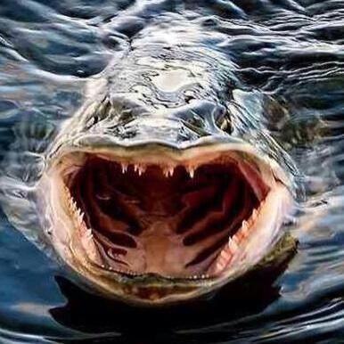 58 best images about pike fish on pinterest swim for Can fish see water