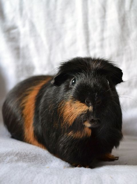 Gordon | Flickr - Photo Sharing!guinea pigs are so adorable and charming this one is gorgeous