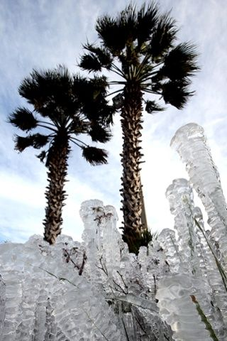 Sprinklers left on overnight coated plants in ice in Pnama City Beack, Florida, winter 2013/2014