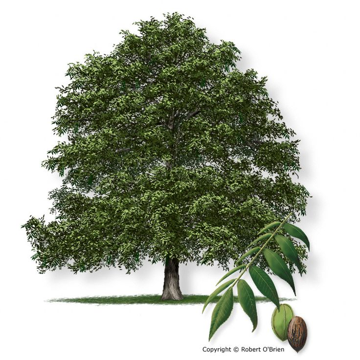 Texas A Forest Service - Trees of Texas - List of Trees  Pecan hickory