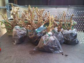 Geranien überwintern – So überleben Ihre Pelargonien den Winter – Geranien-Pflanzen.de