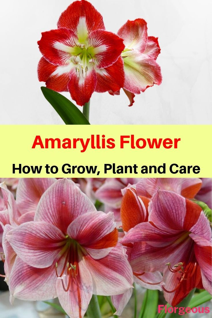 Amaryllis Flower How To Grow Plant And Care Amaryllis Flowers Amaryllis Flowers