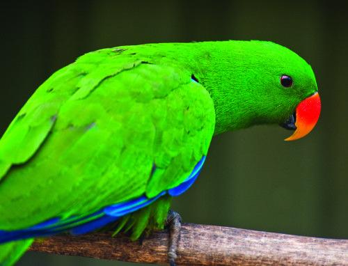 Eclectus Parrots – Most Complex Reproductive Life of Any Bird