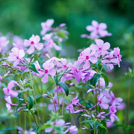 Woodland phlox has it all; it's disease resistant, doesn't mind shade, and offers blue, purple, or white fragrant springtime flowers. Name: Phlox divaricata Growing Conditions: Full to part sun and moist, well drained soil Size: To 16 inches tall Zones: 3-8/