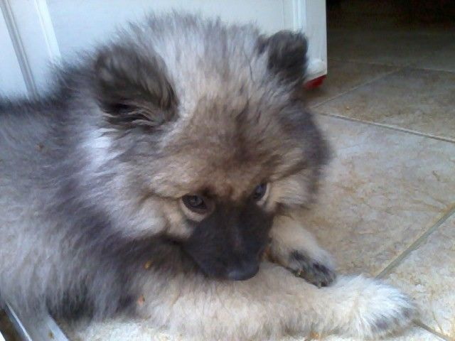 Spitz Loup. So cute !