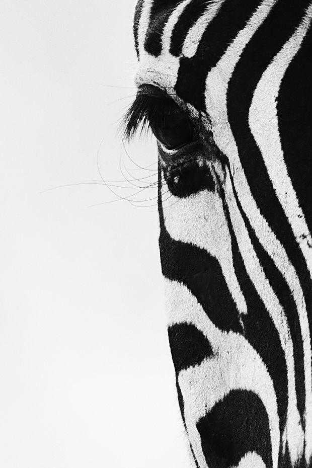 Zebra - Fifty Percent by Tony Sparkes on 500px