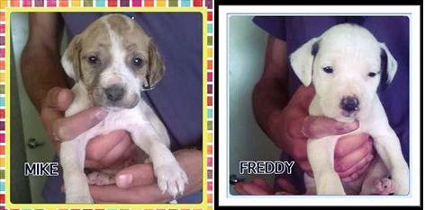 Pit bull cuccioli in adozione