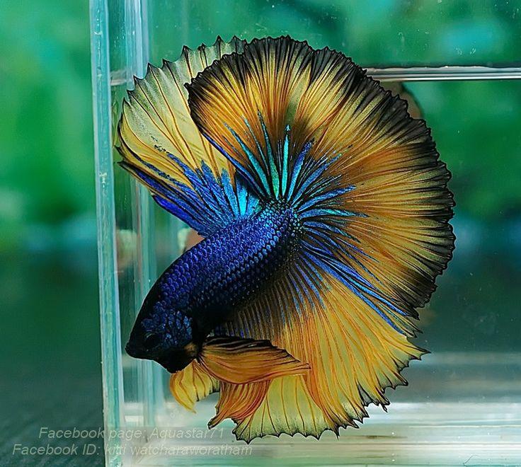 1455 best images about fancy bettas on pinterest for Betta fish aquaponics