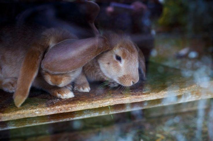 Ebenfalls eine bedrohte Art: Meißner-Widder-Gelb-Kaninchen