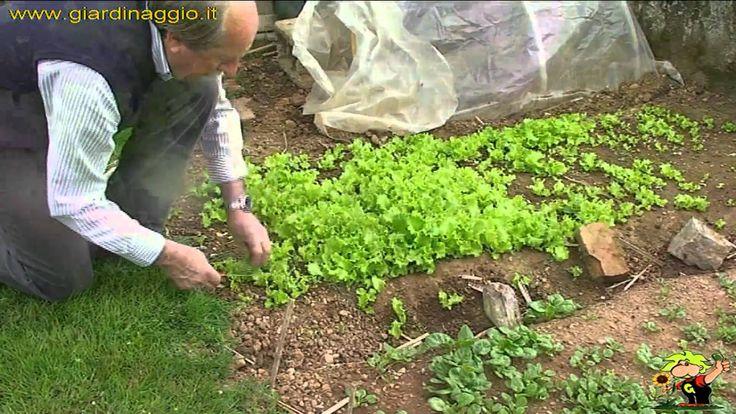 coltivare l'insalata
