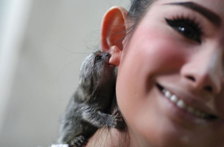 Julian, a two-month old pet monkey, bites the ear of Kan, a transvestite performer, backstage at the Tiffany's Show in Pattaya, 150 km (93 miles) east of Bangkok, Thailand, on February 10, 2012. The first Tiffany's Show was performed as a one-man show for friends on New Year's Eve in 1974. It has since become a world famous transvestite cabaret with dozens of artists performing every night.