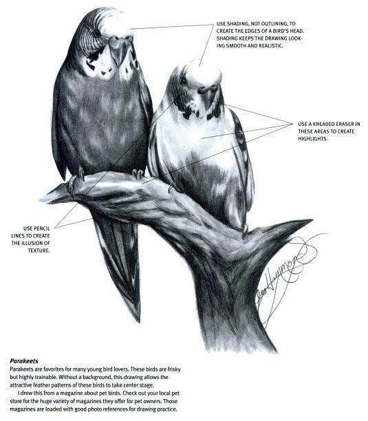 How to draw realistic birds, by Lee Hammond