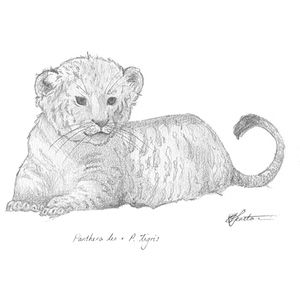 #Liger #Cub #cute #art #sketch #illustration #drawing #animals #wildlife. Take it home today! http://bit.ly/2arRZ23