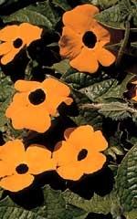 black eyed susan vine - annual